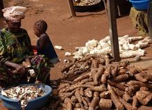 Cassava o manioca