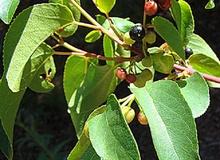 Frutta esotica: il maqui
