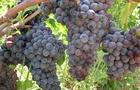 Uva: un delizioso concentrato di vitamine, fibre, polifenoli e acqua!