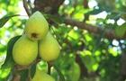 La pera: il frutto preferito dai bambini!
